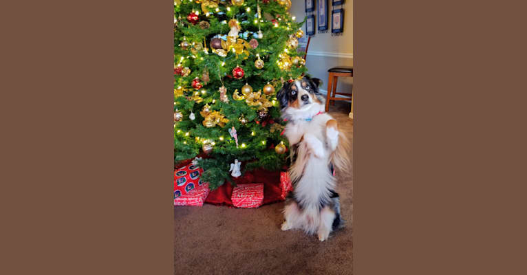 Photo of BaLue, an Australian Shepherd Group  in Marion, West Virginia, USA