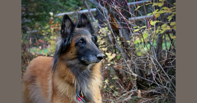 Photo of Jenny, a Belgian Shepherd