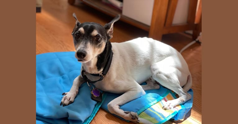 Photo of Snoopy, a Russell-type Terrier, Chihuahua, Toy Fox Terrier, and Rat Terrier mix in Grosse Ile Township, Michigan, USA