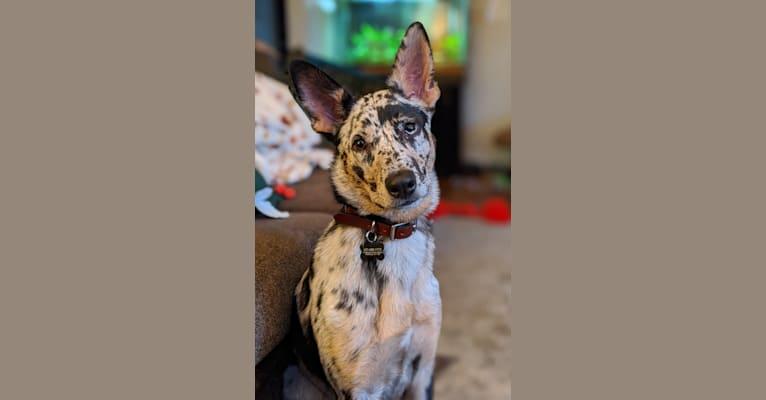 Photo of Noda, a German Shepherd Dog and Australian Shepherd mix in Charlotte, North Carolina, USA