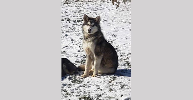 Photo of Kodi, an Alaskan Malamute