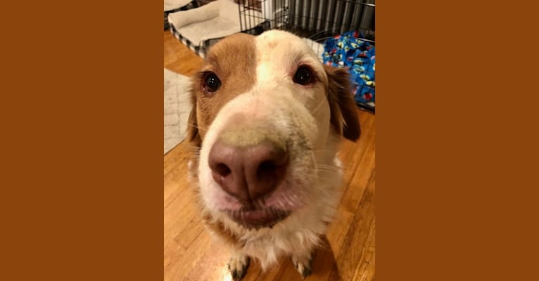 Photo of Liam, an American Pit Bull Terrier, Australian Cattle Dog, Russell-type Terrier, Chow Chow, Toy Fox Terrier, and Boxer mix in Houston, Texas, USA