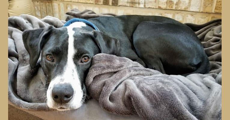 Photo of Frank, a Perro de Presa Canario, American Staffordshire Terrier, Labrador Retriever, Great Pyrenees, and Boxer mix in Illinois, USA