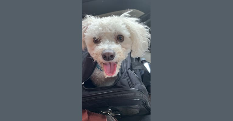 Photo of Gus, a Maltese, Bichon Frise, and Poodle (Small) mix in Missouri, USA