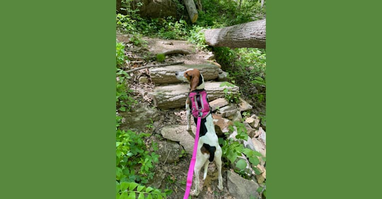 Photo of Roxy, a Treeing Walker Coonhound  in Portsmouth, Virginia, USA