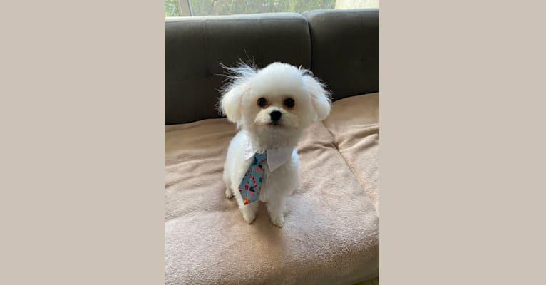 Photo of Pompom, a Poodle (Small), Chihuahua, Pomeranian, Pekingese, and Mixed mix