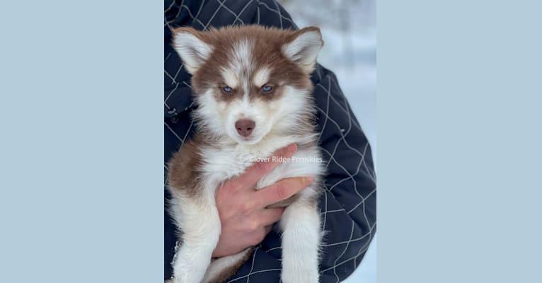 Photo of Winter, a Pomsky