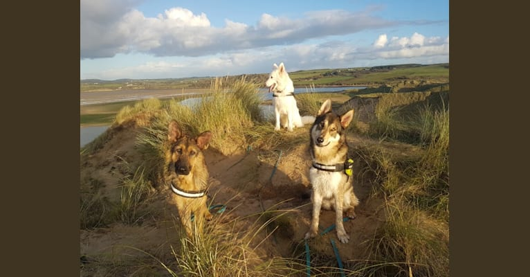 Photo of Kalen, a German Shepherd Dog, Siberian Husky, and Alaskan Malamute mix in Camolin, County Wexford, Ireland