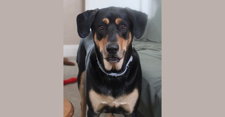 Photo of Wyatt, a Labrador Retriever, Doberman Pinscher, and Rottweiler mix in Virginia, USA