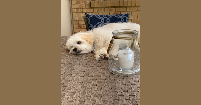 Photo of Murphy, a Maltese, Shih Tzu, Poodle (Small), and Chihuahua mix in Tamworth NSW, Australia