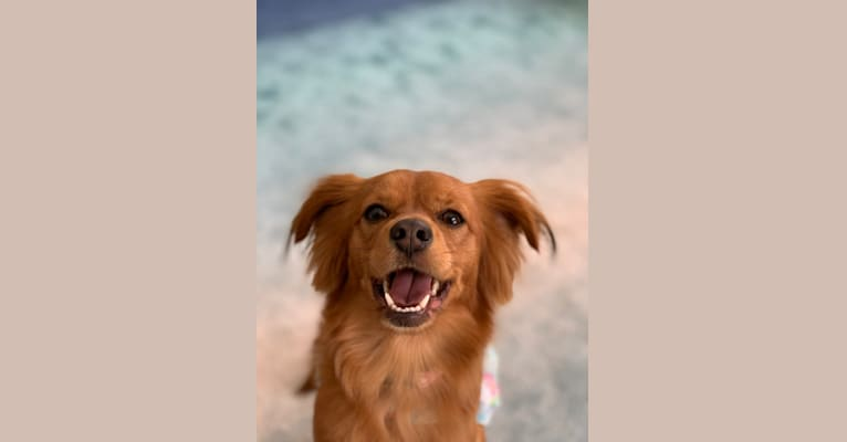 Photo of Ella, a Chihuahua, Shih Tzu, and Poodle (Small) mix in Port Charlotte, Florida, USA