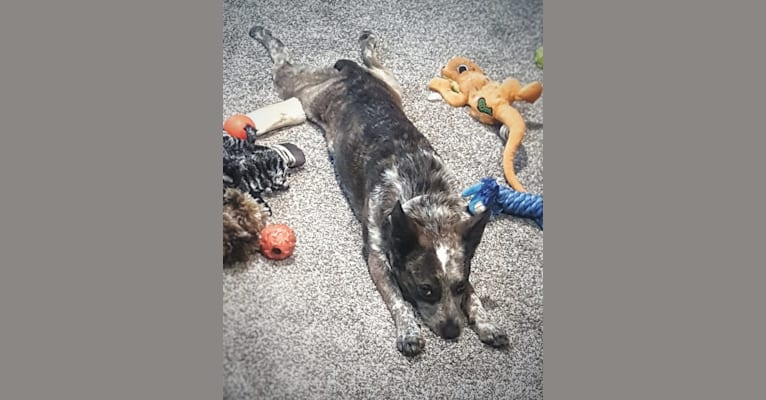Photo of Banshee Boo, an Australian Cattle Dog, American Pit Bull Terrier, and Australian Shepherd mix in Downers Grove, Illinois, USA