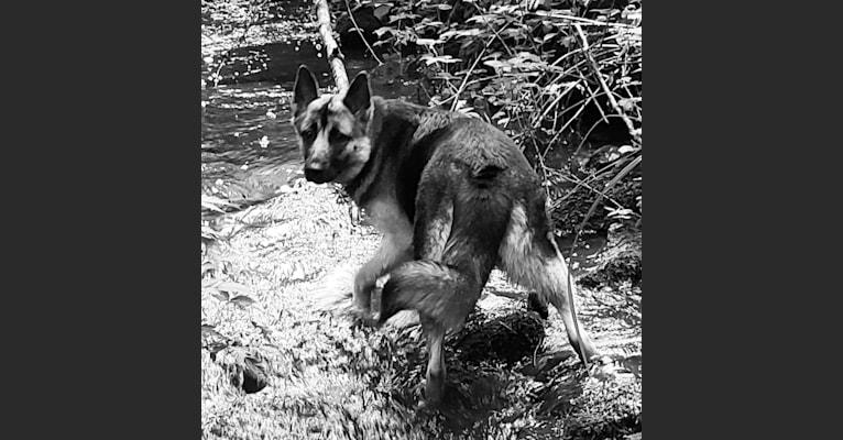 Photo of SAUIN, a German Shepherd Dog, Siberian Husky, and Alaskan Malamute mix in Spokane, Washington, USA