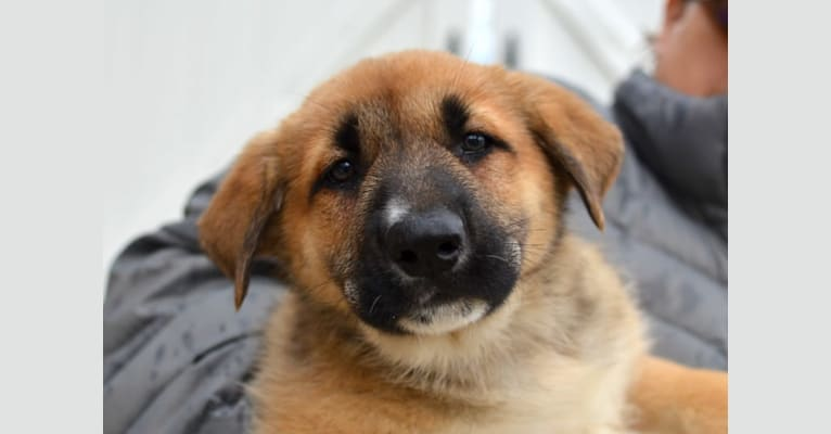 Photo of Shane, a German Shepherd Dog and Mixed mix