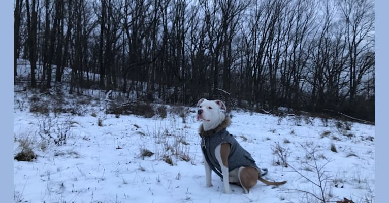 Photo of Princeton James Pooperton, an American Pit Bull Terrier and American Staffordshire Terrier mix