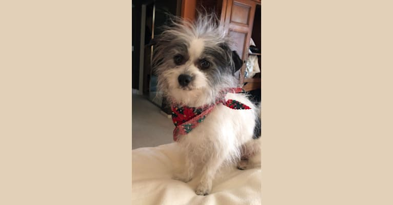 Photo of Sherlock, a Chihuahua, Maltese, and Poodle (Small) mix in Carlsbad, California, USA