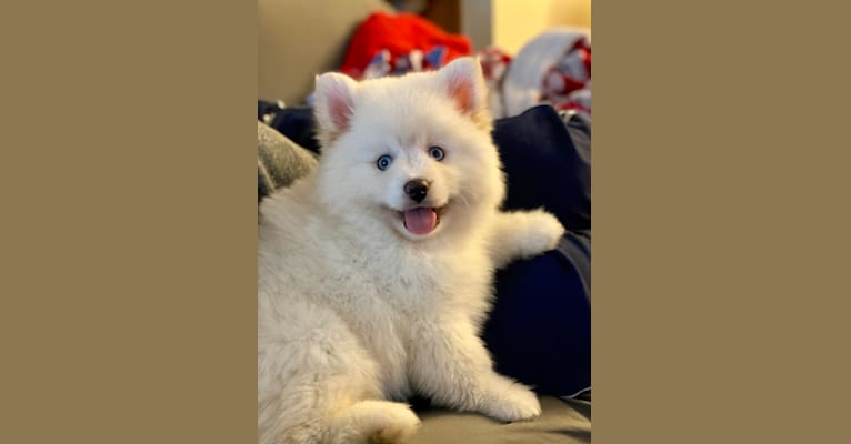 Photo of Jackson, a Pomsky  in Oakland, OR, USA