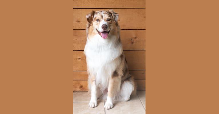 Photo of Neville, an Australian Shepherd Group  in Upper Sandusky, OH, USA