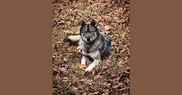 Photo of Koda, a Siberian Husky  in Little Rock, Arkansas, USA