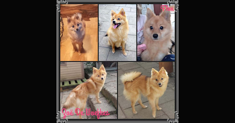 Photo of Zoë De Woefkes, a Pomeranian, Siberian Husky, American Eskimo Dog, and Mixed mix in Maastricht, Nederland