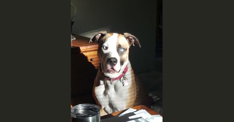 Photo of Blue, an American Pit Bull Terrier, American Bulldog, and Doberman Pinscher mix in Detroit, Michigan, USA