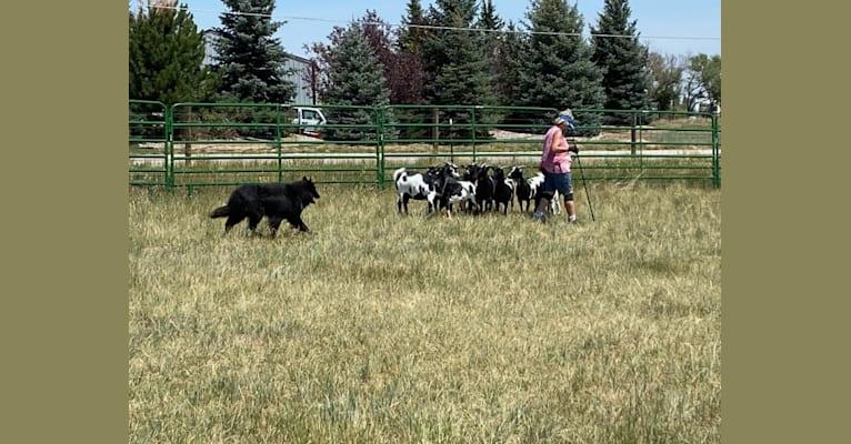 Photo of Orion, a Belgian Shepherd  in 3803 Storey Blvd, Cheyenne, WY, USA
