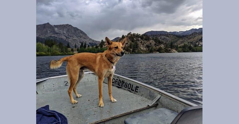 Photo of Fox, a Mountain Cur, Border Collie, and Australian Shepherd mix in Sunnyvale, California, USA