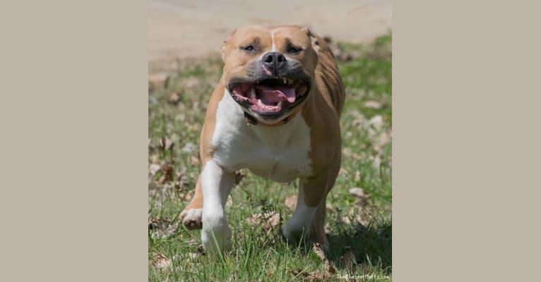 Photo of Fezzik, an American Staffordshire Terrier  in Rome, Georgia, USA
