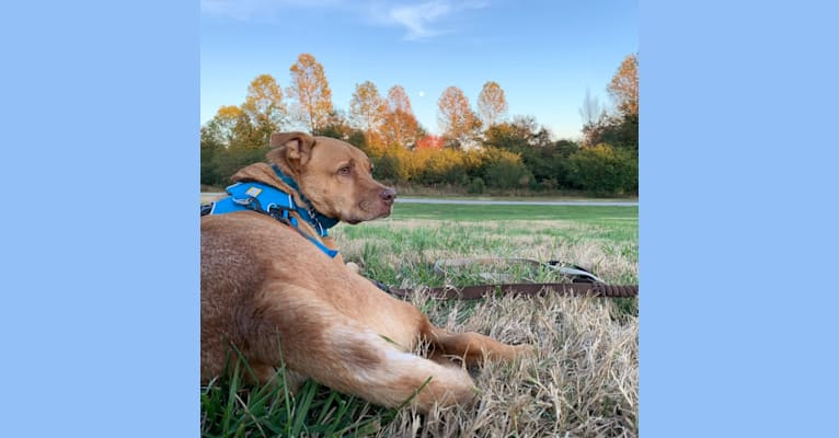 Photo of Strike, an American Pit Bull Terrier, Chow Chow, German Shepherd Dog, and Miniature/MAS-type Australian Shepherd mix in Georgia, USA