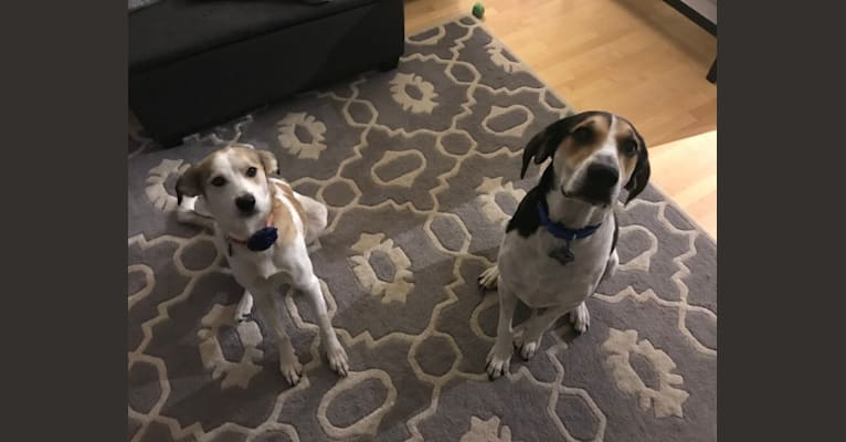 Photo of Harlow, a Treeing Walker Coonhound  in New Tazewell, TN, USA