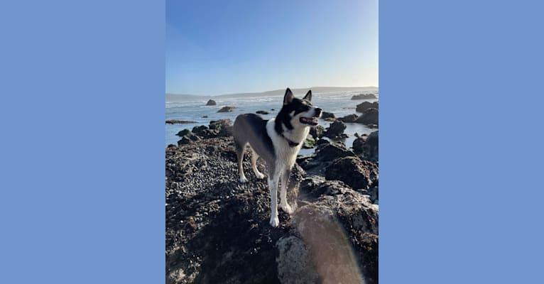 Photo of Arlo, an Australian Cattle Dog, Siberian Husky, and German Shepherd Dog mix in Visalia, California, USA