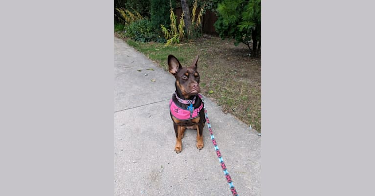Photo of Mika, an American Pit Bull Terrier, American Staffordshire Terrier, Cocker Spaniel, and Mixed mix in Puerto Rico