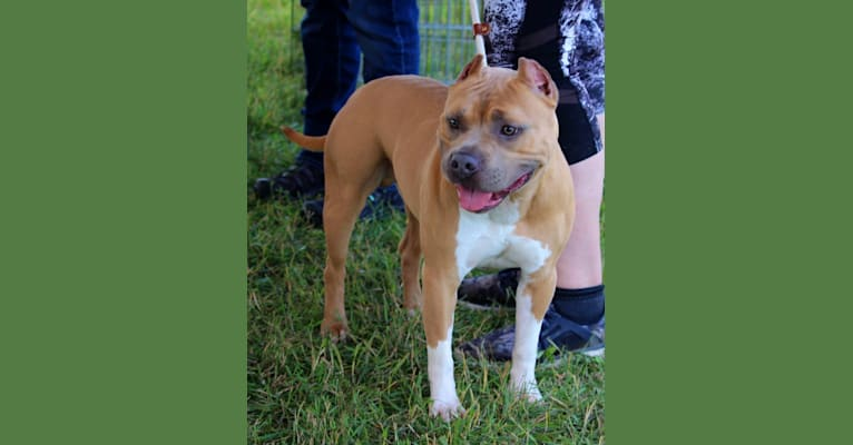 Photo of Rhodie, an American Bully and American Staffordshire Terrier mix in Harrington, DE, USA