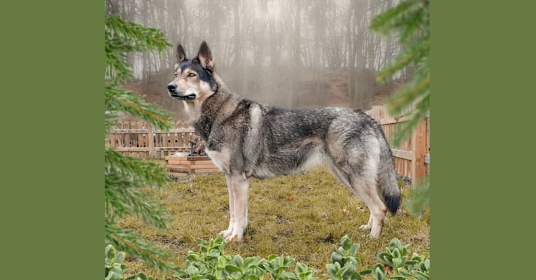 Photo of Tammy, a Siberian Husky, German Shepherd Dog, Alaskan Malamute, and Czechoslovakian Vlcak mix in Schwalmstadt, Deutschland