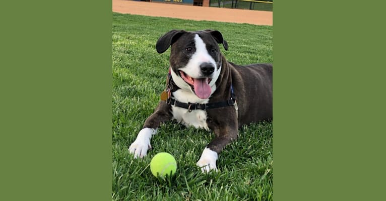 Photo of Roxy, an American Pit Bull Terrier  in Asheville, North Carolina, USA