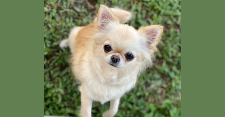Photo of Winter, a Chihuahua