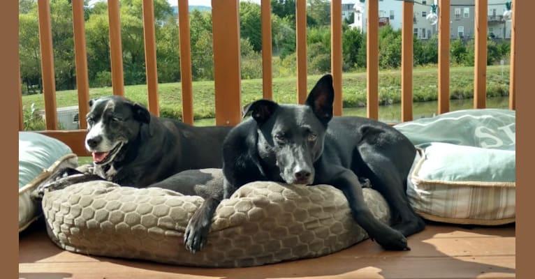 Photo of Eddie, a German Shepherd Dog, American Pit Bull Terrier, and Siberian Husky mix in Aldie, Virginia, USA
