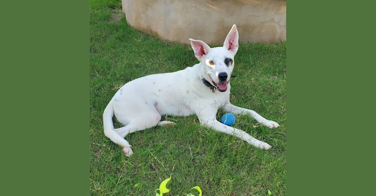 Photo of Zeppelin, an Australian Cattle Dog, American Pit Bull Terrier, Chow Chow, and Mixed mix in Laredo, Texas, USA