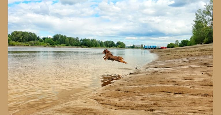 Photo of Koda, an Australian Shepherd Group  in Oregon, USA