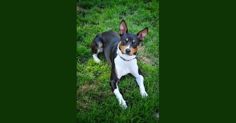 "Photo of Waterwheel Creek's Set To Stun ""Phaser"", a Rat Terrier  in Duvall, WA, USA"