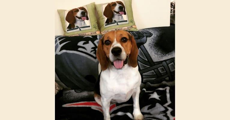 Photo of Chip, a Beagle