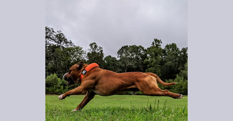 """Photo of Frank """"Thrashers In Other Words Hot Sauce"""", a Staffordshire Bull Terrier  in Palm Beach, FL, USA"""