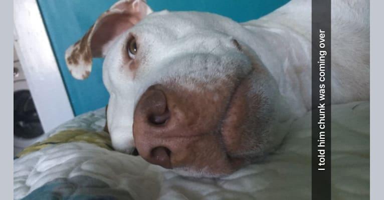 Photo of Rex, an American Pit Bull Terrier and American Bulldog mix in Cincinnati, Ohio, USA