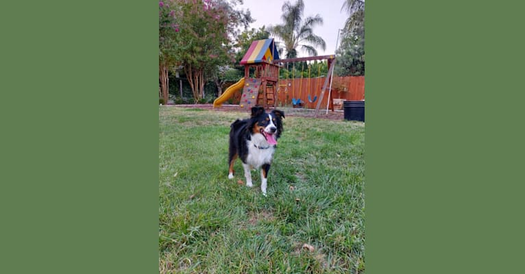 Photo of Argo, an Australian Shepherd Group  in Oroville, CA, USA
