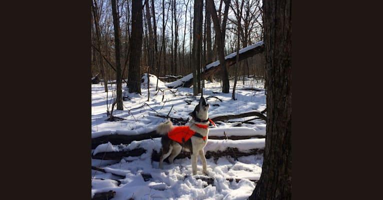 Photo of Flint, a West Siberian Laika  in Virginia, USA