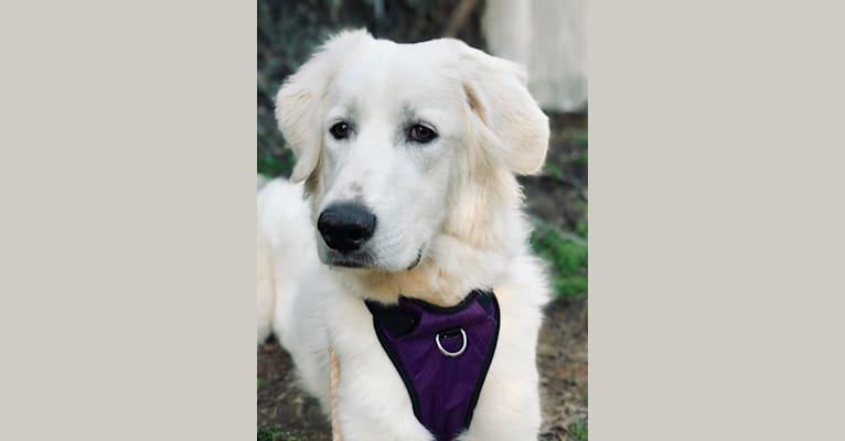 Photo of Moana, a Great Pyrenees and Anatolian Shepherd Dog mix in Charlotte, NC, USA