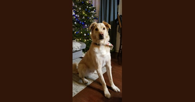 Photo of Kaiser, a Great Pyrenees, American Pit Bull Terrier, Mountain Cur, and Mixed mix in Alabama, USA