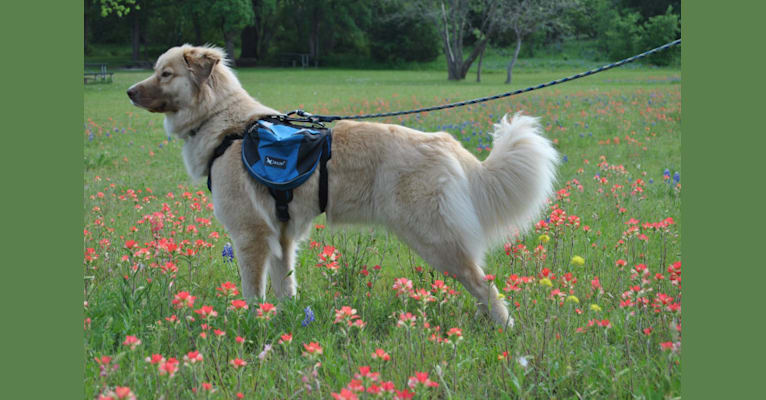 Photo of Jellybean, a Great Pyrenees, German Shepherd Dog, Chow Chow, and Mixed mix in Maryland, USA