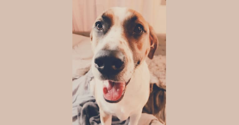 Photo of Romeo, an American Pit Bull Terrier, Labrador Retriever, and Mixed mix in Houston, TX, USA