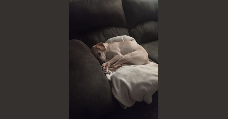 Photo of George, a Poodle (Small), Chihuahua, Miniature Pinscher, and Mixed mix in Minnesota, USA